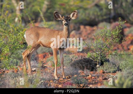 Mule deer - Stock Photo