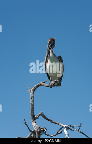 Brown Pelican (Pelecanidae) on a dry branch at the Gulf of Mexico, Yucatan, Mexico - Stock Photo