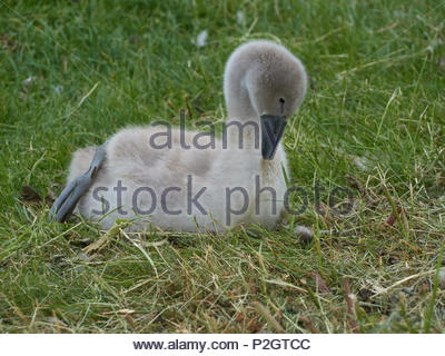 A cygnet preening in the grass - Stock Photo