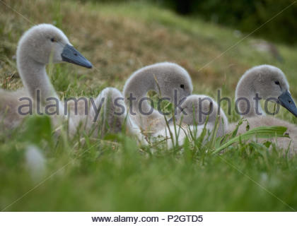 Cygnets lying in the grass - Stock Photo