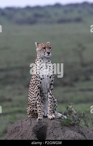 Lone cheetah sitting on the green Maasai Mara savannah looking for prey. Picture taken early morning, Olare Motorogi Conservancy. Acinonyx jubatus - Stock Photo