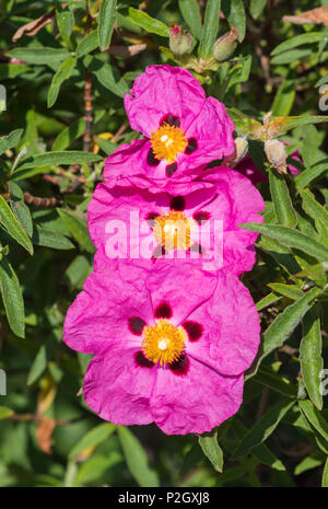 Pink Shrubby Rock Rose flowers from the Genus Cistus, from the Cistaceae family, in Summer in West Sussex, England, UK. Rockrose portrait. - Stock Photo