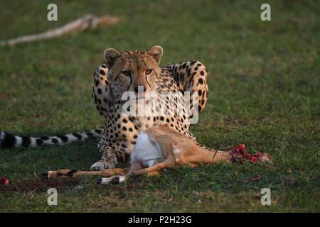 Lone cheetah sitting on the green Maasai Mara savannah eating its prey. Picture taken early morning, Olare Motorogi Conservancy. Acinonyx jubatus - Stock Photo