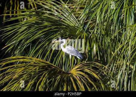 White-necked Heron in rainforest at Tambopata river, Ardea cocoi, Tambopata National Reserve, Peru, South America - Stock Photo