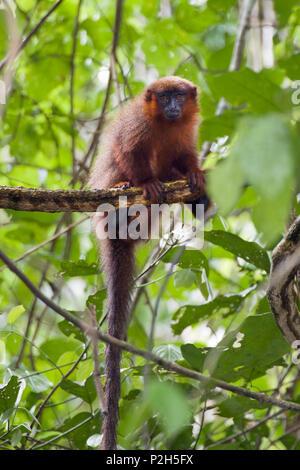 Coppery Titi Monkey in rainforest, Callicebus cupreus, Tambopata Reserve, Peru, South America - Stock Photo