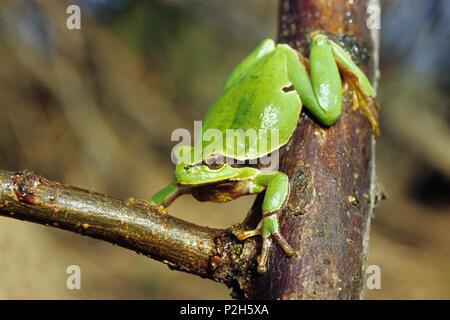 Tree Frog, Hyla arborea, Austria - Stock Photo