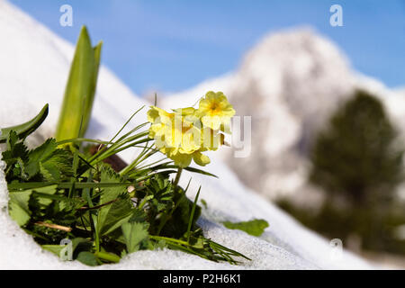 Cowslip in snow, Primula elatior, Alps, Upper Bavaria, Germany, Europe - Stock Photo