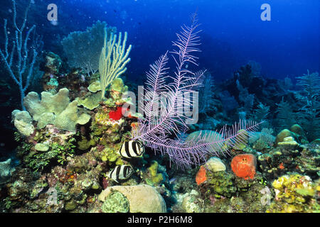 Banded Butterflyfish in Coral Reef, Chaetodon striatus, Honduras, Caribbean, South America - Stock Photo