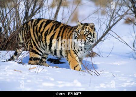 Young Siberian Tiger in snow, Panthera tigris altaica, China, captive - Stock Photo