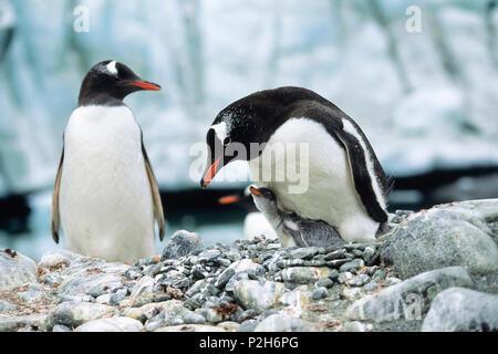 Gentoo Penguin with chick, Pygoscelis papua, Antarctic peninsula, Antarctica - Stock Photo