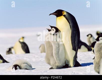 Emperor Penguin with chick on feet, Aptenodytes forsteri, Antarctica - Stock Photo