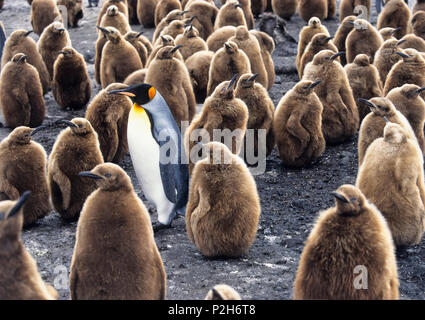 King Penguin with chicks, Aptenodytes patagonicus, South Georgia, Antarctica - Stock Photo