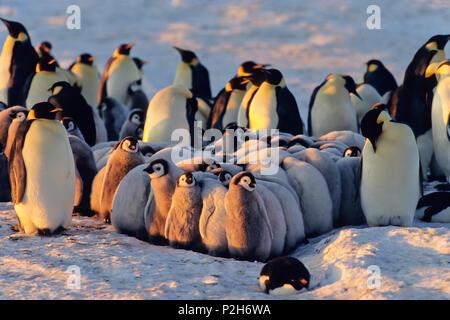 Emperor Penguin with chicks, kindergarden, Aptenodytes forsteri, Antarctica - Stock Photo