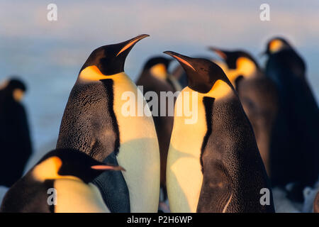 King Penguins, Aptenodytes patagonicus, St. Andrews Bay, South Georgia, Antarctica - Stock Photo