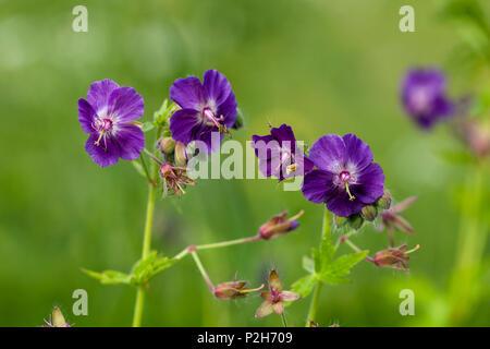 Dusky Cranesbill, Geranium phaeum, Bavaria, Germany - Stock Photo