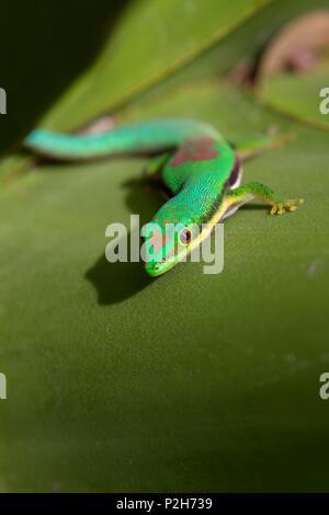 Lined Day Gecko, Phelsuma lineata bifasciata, Canal de Pangalanes, East Madagascar, Africa - Stock Photo