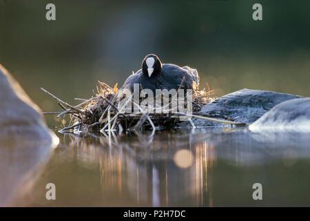 Coot on nest, Fulica atra, Bavaria, Germany - Stock Photo