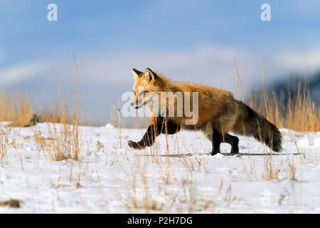 Red Fox in winter running, Vulpes vulpes, USA - Stock Photo