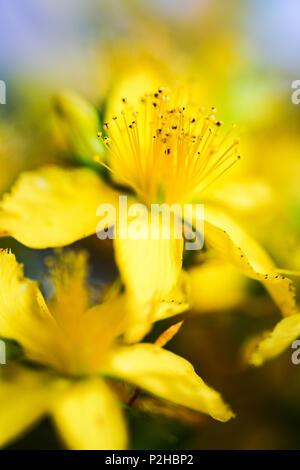 Yellow flower of St. John's wort. - Stock Photo