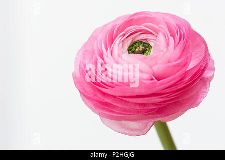 Single pink detailed buttercup (ranunculus) isolated on white background - Stock Photo
