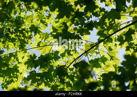 Maple leaves in Spring, Pullach im Isartal, near Munich, Upper Bavaria, Bavaria, Germany, Europe - Stock Photo