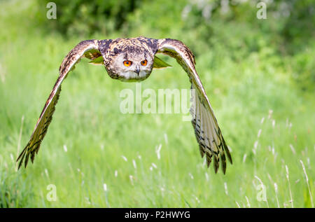 Eagle owl Bubo bubo in silent approaching flight in a Gloucestershire bird sanctuary - trained bird UK - Stock Photo