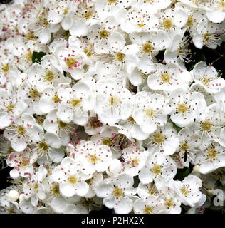 Waxy flowers of Hawthorn or May blossom Crataegus monogyna in late May in South Wales UK - Stock Photo