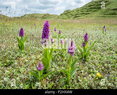 Dune slacks at Whiteford Burrows on the Gower peninsula in south Wales UK with colonies of Southern Marsh Orchis Dactylorhiza praetermissa - Stock Photo