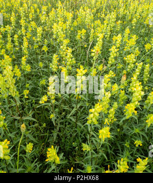 Dense colony of Yellow Rattle flowers Rhinanthus minor a parasitic herbaceous perennial plant growing on dunes on the Gower peninsula South Wales UK - Stock Photo