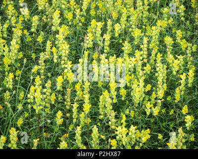 Dense olony of Yellow Rattle flowers Rhinanthus minor a parasitic herbaceous perennial plant growing on dunes on the Gower peninsula in South Wales UK - Stock Photo