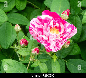 Beautifully marbled pink and white hybrid tea rose Pink Intuition growing in an English garden in June - Stock Photo