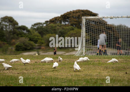 Little Corellas (Cacatua sanguinea) feeding on grass seeds at the rear of soccer goal posts in Centennial Park, Sydney Australia - Stock Photo