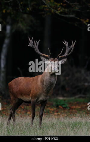 Red deer male to the mating time in a autumn forest, (cervus elaphus) - Stock Photo