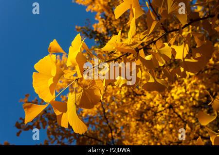 Leaves of a ginkgo tree in Autumn, Lat. Gingko biloba, indian summer, Pullach im Isartal, south of Munich, Upper Bavaria, Bavari - Stock Photo