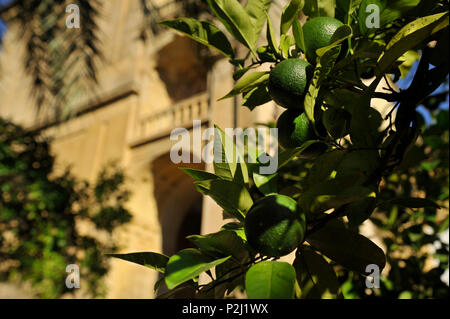 Green oranges on the tree in the garden in the Mezquita in evening, Cordoba, Andalusia, Spain - Stock Photo