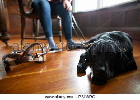 Black seeing eye dog laying on hardwood floor - Stock Photo