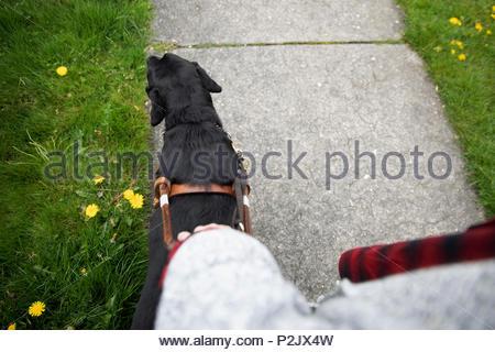 Seeing eye dog leading visually impaired woman walking on sidewalk - Stock Photo