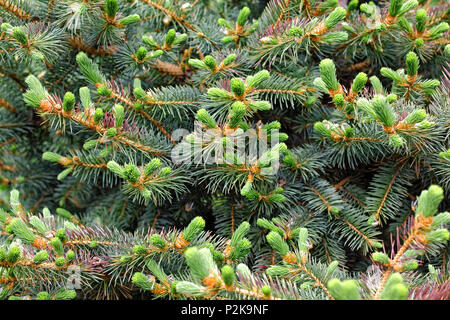 Young spruce shoots in the Siberian taiga. Fluffy fir tree branches close-up, gorgeous Christmas background - Stock Photo