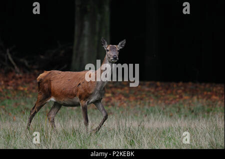 Red deer female in autumn forest, (cervus elaphus) - Stock Photo