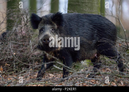 Wild boar female in the forest, spring,  (sus scrofa) - Stock Photo