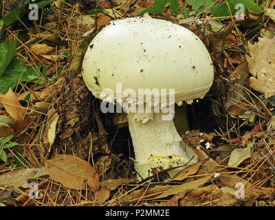 specimen of european white egg fungus