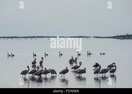 Kenya, Soysambu conservancy, lesser flamingo (Phoeniconaias minor), on the lake Elementeita - Stock Photo