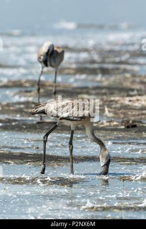 Kenya, Soysambu conservancy, lesser flamingo (Phoeniconaias minor), juvenile eating on the lake Elementeita - Stock Photo