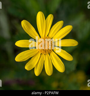 Selective focus on yellow daisy iin nature aganst green background, top view and close-up. - Stock Photo