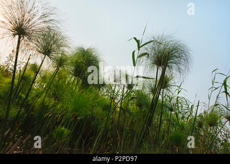 Cyperus papyrus plant, Okavango Delta, North-West District, Botswana - Stock Photo
