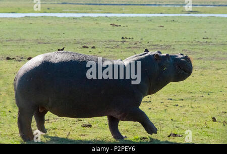 Hippo, Chobe National Park, North-West District, Botswana - Stock Photo