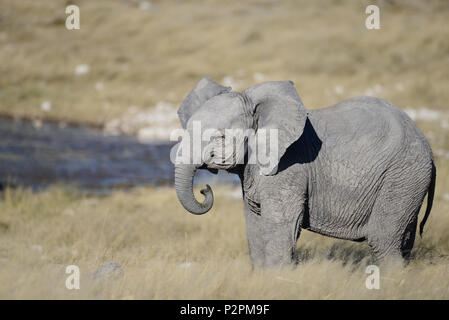 A lovely baby elephant stands in the grass on the savanna, by a waterhole, in Etosha National Park.  S/he has curled trunk and ears out. - Stock Photo