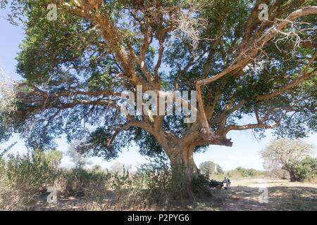 Africa, South African Republic, Mala Mala game reserve, Sycamore fig or the fig-mulberry (Ficus sycomorus) - Stock Photo