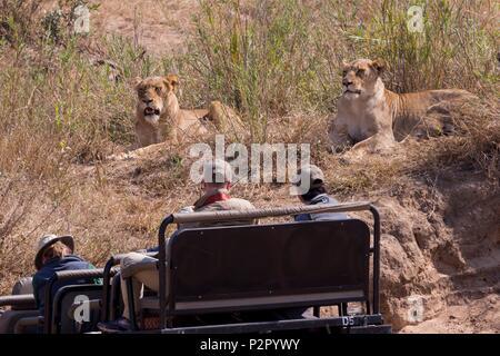 South Africa, Mala Mala game reserve, savannah, Lion (Panthera leo), female resting - Stock Photo