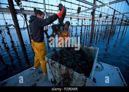 France, Herault, Marseillan, oyster farming, Tarbouriech company, oyster farming, shellfish farmers - Stock Photo